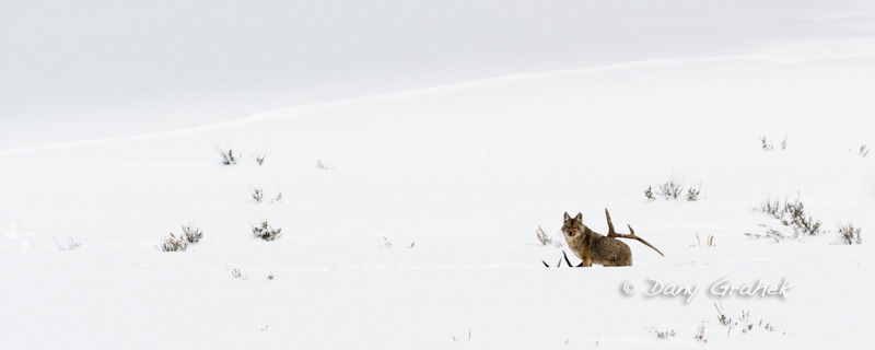 form/uploads/galerie_graek_images/pics/94_1_0_coyote_yellowstone.jpg